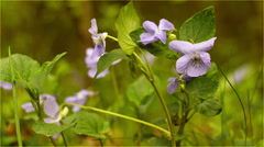 Violets close up Stock Footage