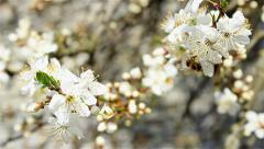 Tree blooming in spring Stock Footage