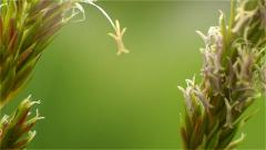 Seeds of meadow grass Stock Footage