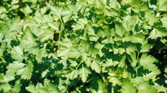 Parsley Growing In A Garden Stock Footage