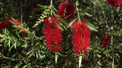 Two Red Bottlebrush Flowers Stock Footage