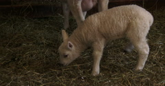Small lamb living in barn Stock Footage