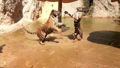 Tigers fight aggression Stock Footage