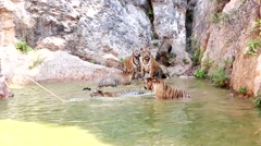 Tigers family water Stock Footage