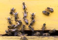 Honey bees in yellow beehive - stock photo