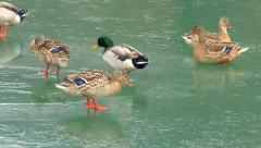 Freezing Mallard Ducks In Winter Walk On Iced lake  022  FullHD  1080p Stock Footage
