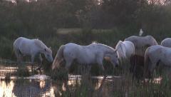 Camargue Horse (Equus caballus) in swamp - stock footage