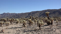Stock Video Footage of California Joshua Tree National Park cholla patch