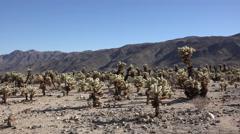California Joshua Tree National Park cholla patch Stock Footage