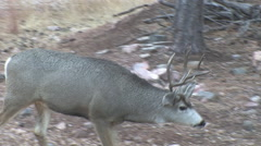 Rutting Buck Searching for a Hot Doe Stock Footage
