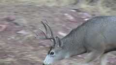 Close Rutting Mule Deer Buck Smelling for Hot Does Stock Footage