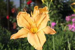 yellow lily .a bright sun - stock photo