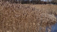 Cattail thickets - stock footage
