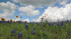 Landscape with blooming Bluebonnets in Texas Stock Footage