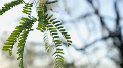 Leaves on desert tree - close up Stock Footage