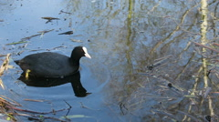 Closeup of water fowl Stock Footage