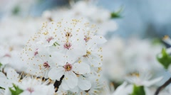 Flowering white cherry blooming in spring on a sunny day Stock Footage