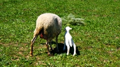 Newborn lamb with his mother (4K) Stock Footage