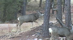 Winner of Buck Fight Intimidates the Losing Buck Away From Does Stock Footage