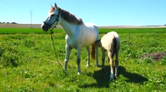 Mare with her foal in the field, sunny day (4K) - stock footage