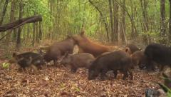 Wild Boar Attack Stock Footage