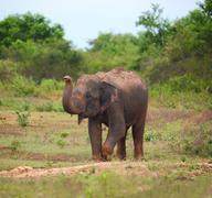 wild indian elephant raises the trunk - stock photo