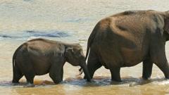 Elephants family in the river - Sri Lanka Stock Footage