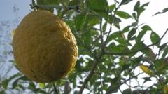 Cultivated lemon fruit tree branches  4K 3840X2160p UHD video - Lemon fruit c Stock Footage