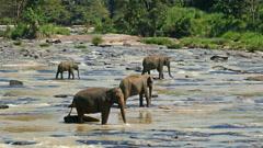 Elephants in the river - Sri Lanka Stock Footage