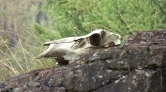 Deer skull Stock Footage