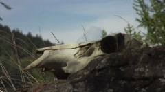 Deer skull - close-up shot Stock Footage