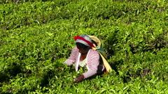 Woman from Sri Lanka harvested tea leaves Stock Footage