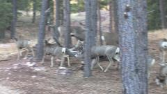 Mule Deer Buck Courts Doe in Herd of Feeding Does Stock Footage
