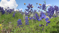 Stock Video Footage of Field of blooming Bluebonnets in Texas