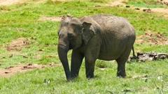 Elephant at the Pinnawala in Sri Lanka Stock Footage