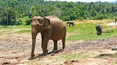 Elephants at the Pinnawala in Sri Lanka Stock Footage