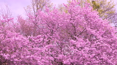 Japanese Garden Vienna - spring blossom 2 Stock Footage