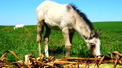 Free foal eating in the field (4K) - stock footage