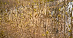 Buds of leaves on twigs in early spring, 4k - stock footage