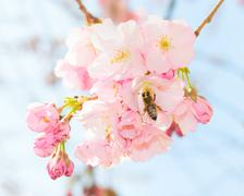Bee pollinating springtime blooming orchard fruit garden Kuvituskuvat