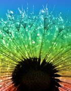 Stock Photo of dewy dandelion