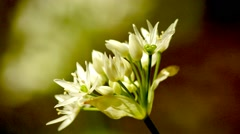 Wild garlic flower Stock Footage
