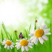 Dewy green grass with daisies on meadow Stock Photos