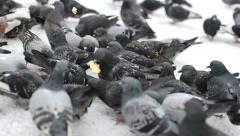 Pigeons eating bread Stock Footage