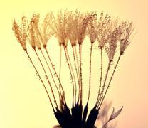 Dewy dandelion Stock Photos