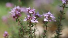 Flowers of Thymus vulgaris Stock Footage