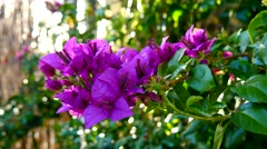 Bougainvillea flower in spring (4K) Stock Footage