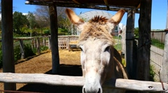 Gray donkey on a farm (4K) - stock footage