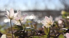 Wood anemones at the lake Stock Footage