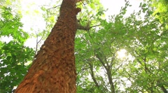 Trees in the forest are high. Stock Footage